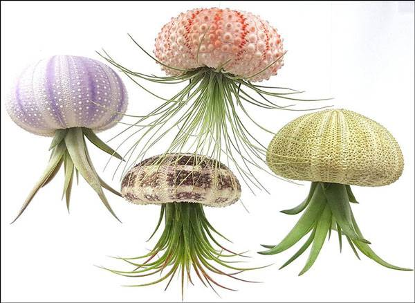 Sea Urchin Air Plants - Unique Mother's Day Gifts